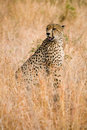 Cheetah sitting in grass Royalty Free Stock Photos