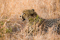 Cheetah sitting in grass Royalty Free Stock Photography