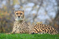 Cheetah the is sitting on grass Stock Image
