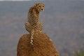 Cheetah sitting on termite mound in Namibia Royalty Free Stock Photo