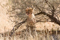 Cheetah sitting underneath shrub in Kalahari Stock Photo