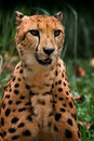 Cheetah sitting up Royalty Free Stock Image