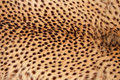 Cheetah skin close up view of the of a acinonyx jubatus Stock Photo