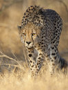 Cheetah stalking Royalty Free Stock Photo