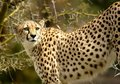 Cheetah Stalking Her Prey on the Savanna. Royalty Free Stock Photo