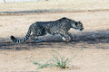 Cheetah stalking its prey Royalty Free Stock Photo
