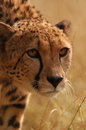 Cheetah stalking through long savannah grass Royalty Free Stock Photo