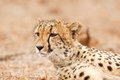 Cheetah staring Royalty Free Stock Photo