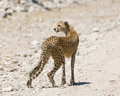Cheetah Staring In Ngorogoro Royalty Free Stock Photos