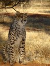 Male Cheetah at sunset in grass in Namibia Royalty Free Stock Photo