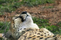 Cheetah taking a nap Royalty Free Stock Photography