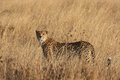 Cheetah in tall grass watching us before you start hunting a african park Royalty Free Stock Photography
