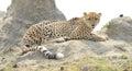 Cheetah on Termite Hill Royalty Free Stock Photo