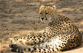 Cheetah in Thornybush Game Reserve Royalty Free Stock Photos