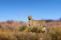 Cheetah on top of a hil Royalty Free Stock Photo