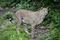 Cheetah Walking Royalty Free Stock Images