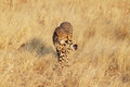 Cheetah walking Royalty Free Stock Photo