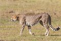 Cheetah walking on the grassland in masai mara Royalty Free Stock Image