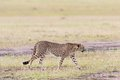 Cheetah walking on the savannah Stock Photography