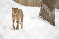 Cheetah a walking in a snow covered field Royalty Free Stock Photos