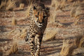 Cheetah walking in wild Royalty Free Stock Photo