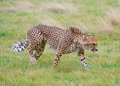 Cheetah walks Stock Photo