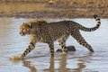Cheetah in water, South Africa Royalty Free Stock Photo