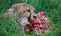 Cheetah Wild Cat Eating Royalty Free Stock Photo