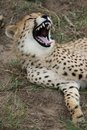 Cheetah Wild Cat Teeth Royalty Free Stock Photo