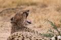 Cheetah yawn after eating Royalty Free Stock Photo