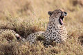 Cheetah yawning masai mara reserve kenya africa in the in Stock Photography