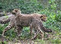 Cheetah Youngs