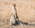 Cheetahs adult resting in dry grass after successful hunting masai mara national reserve kenya east africa Stock Photography