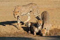 Cheetahs drinking water Royalty Free Stock Photo