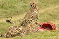 Cheetahs feeding Stock Photo