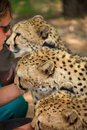 Cheetahs in harnas namibia december unrecognizable woman with foundation namibia Stock Image