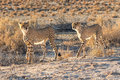 Cheetahs at kgalagadai transfrontier national park Royalty Free Stock Photo