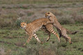 Cheetahs playing a cheetah and cub Royalty Free Stock Photography