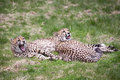 Cheetahs Royalty Free Stock Photo