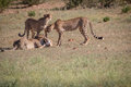 Cheetahs with a Springbok kill in Kgalagadi. Royalty Free Stock Photo