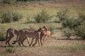 Cheetahs with a Springbok kill in Kgalagadi. Royalty Free Stock Photo