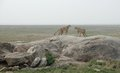 Cheetahs on a stone savannah scenery with some in tanzania africa Stock Photos