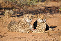 Cheetahs with tracking collars Royalty Free Stock Photo