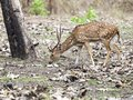 The Cheetal stag, India Royalty Free Stock Photo