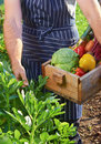 Chef harvesting at local organic farm Royalty Free Stock Photo
