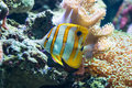 Chelmon rostratus (Copperband Butterflyfish) Royalty Free Stock Photo