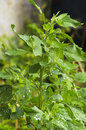 Chenopodium album leaves Royalty Free Stock Photo