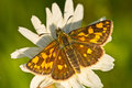 Chequered skipper Royalty Free Stock Photo