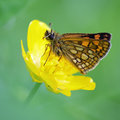 Chequered Skipper butterfly Royalty Free Stock Photo