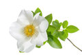 Cherokee Rose Flower Royalty Free Stock Photo